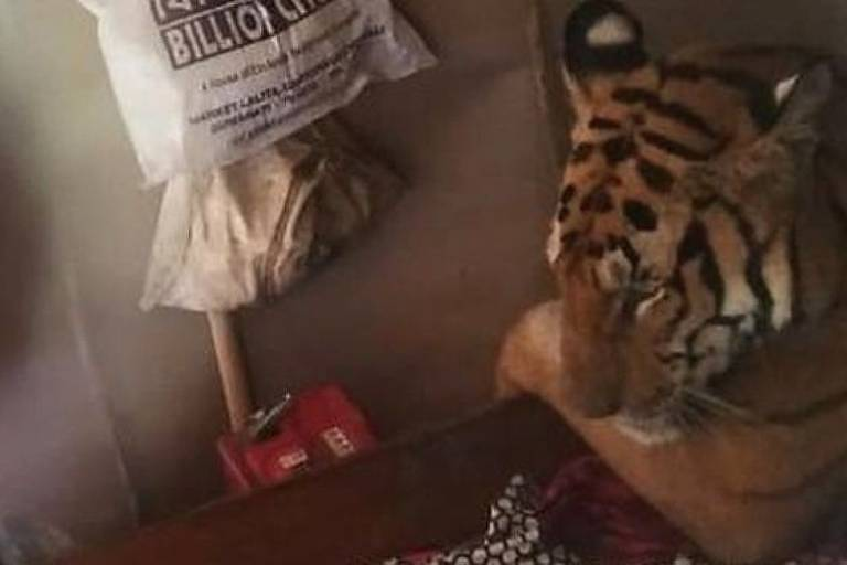O tigre foi visto relaxando em uma cama no Estado de Assam