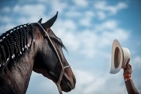 BELO HORIZONTE, MG, 16 DE JULHO DE 2019. Cavalos da raça Mangalarga Marchador em feira em Belo Horizonte. A 38º  edição da Exposição Nacional do Cavalo Mangalarga Marchador em BH, entre os dias 16 e 27 de julho, promete novo recorde de público e leilões. A despeito da crise, a raça, a maior de equinos da América Latina, cresce cerca de 15% ao ano, tem criadores em todo o Brasil e movimenta anualmente cerca de R$ 127 milhões só em leilões. É esperado público de 230 mil pessoas na exposição, que vai ter 600 criadores participantes. .  (Alexandre Rezende/Folhapress AGENCIA) *** EXCLUSIVO FOLHA *** ORG XMIT: Alexandre Rezende
