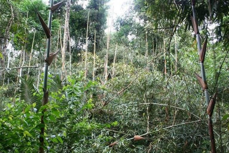 O bambu se tornou uma praga na floresta amazônica