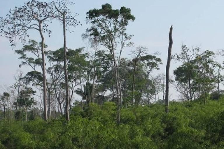 Nas matas onde há bambu, a densidade da floresta primária é menor, com menos da metade de árvores altas e com tronco grosso