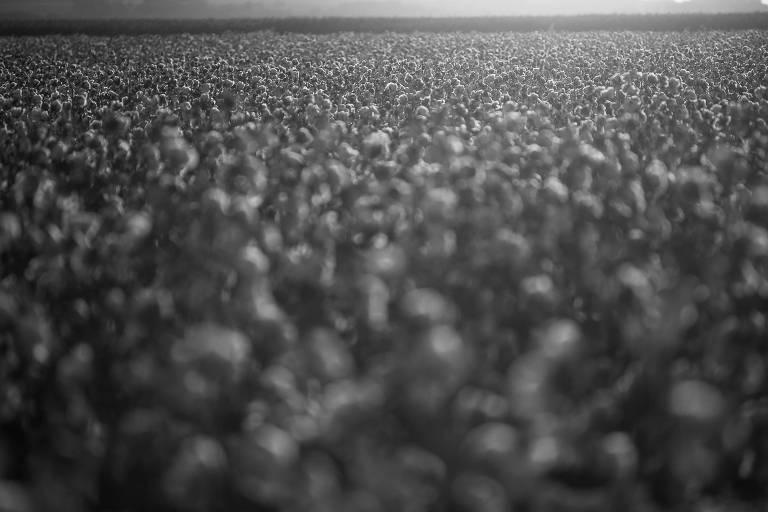Plantação de algodão, cultura que usa agrotóxicos