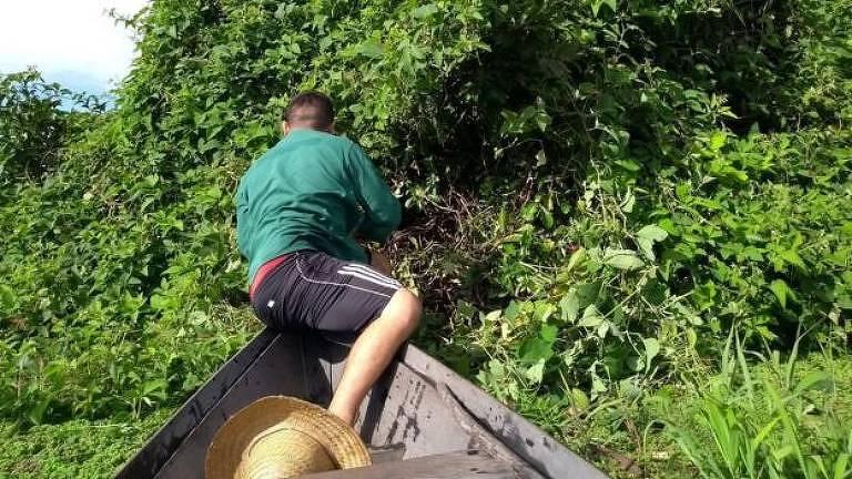 Jararacas que vivem em árvores na Amazônia
