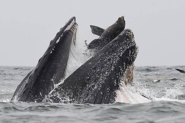O fotógrafo garante que o leão-marinho saiu nadando depois de ter ido parar na boca da baleia