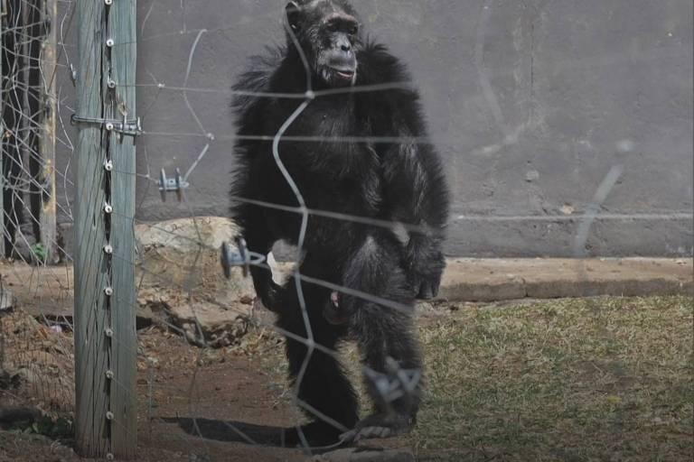 Na foto, um chimpanzé anda como um ser humano, apoiado sobre as duas pernas
