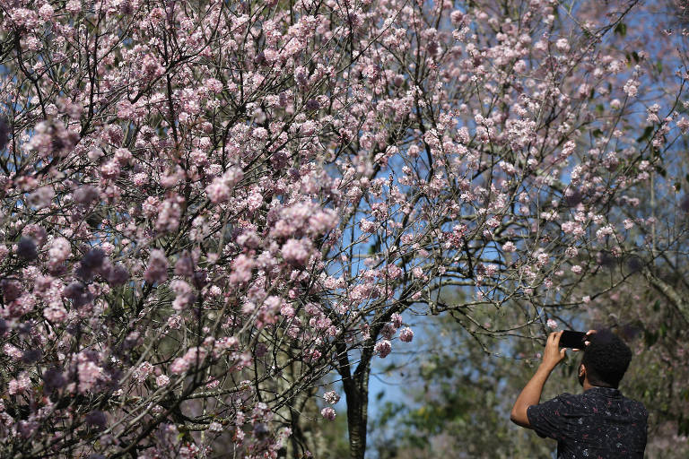 Festa das Cerejeiras deve receber 150 mil no parque do Carmo