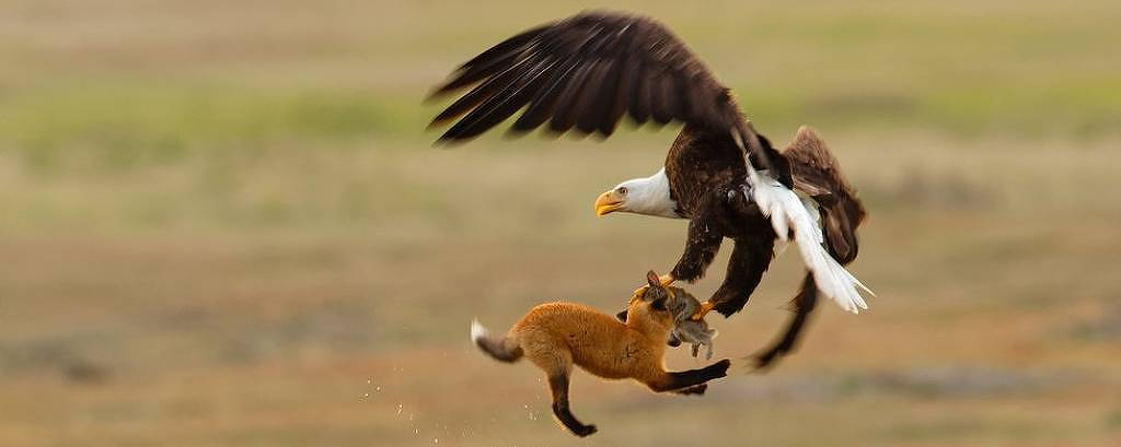 Kevin Ebi levou a menção honrosa na categoria profissional ao fotografar uma águia carregando um coelho e uma raposa