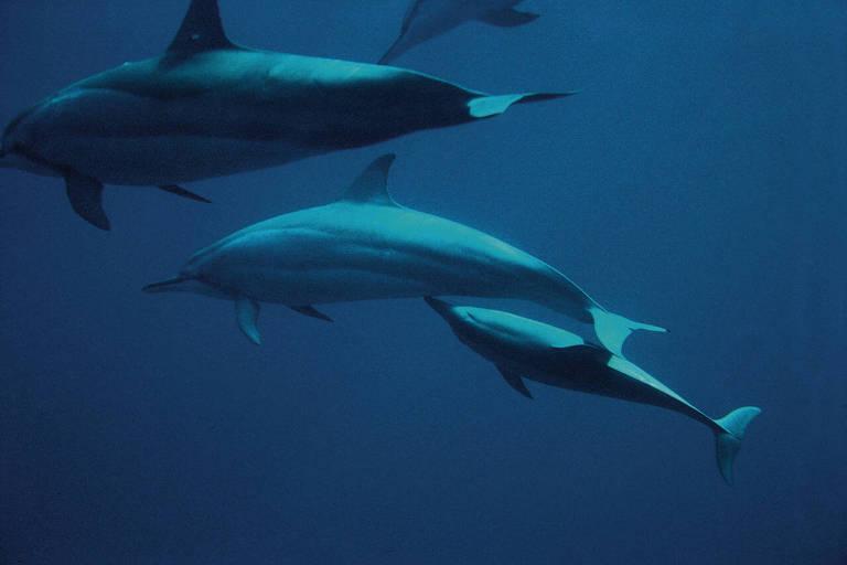 Fotografia do oceanógrafo registra a amamentação do golfinho rotador. A foto, tirada a 2 metros de distância, na baía dos golfinhos em Fernando de Noronha, foi obtida após oito anos de tentativas.