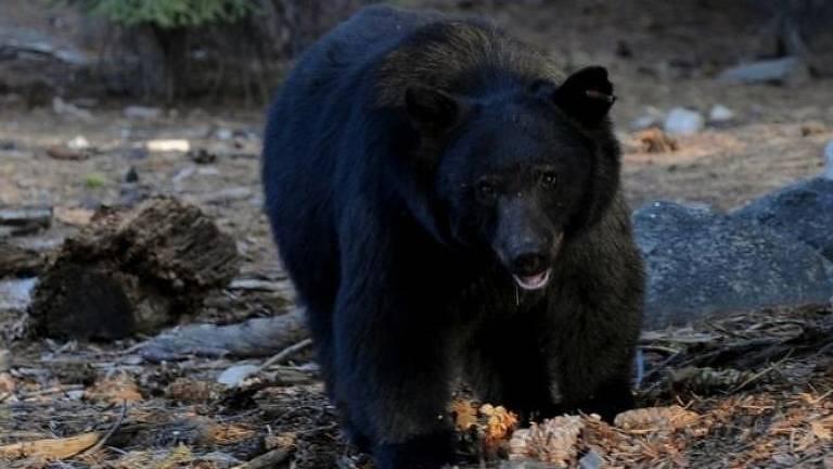 O urso foi atraído provavelmente pelo cheiro de lixo