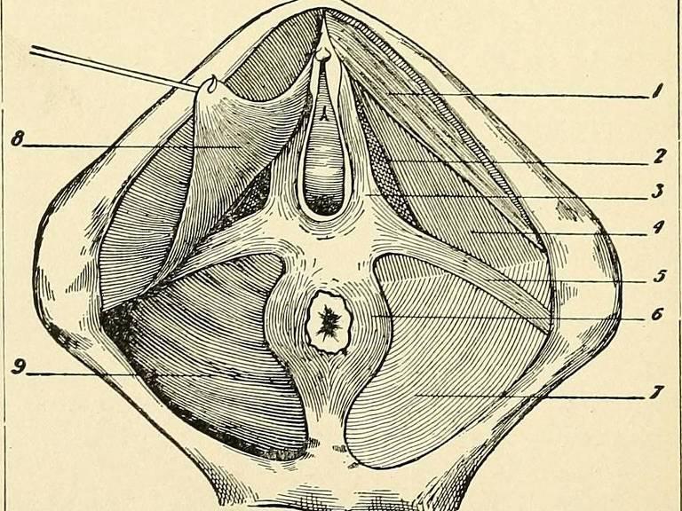 Imagem de livro de anatomia mostra região do assoalho pélvico, que compreende músculos que ajudam no parto, a segurar o xixi e o cocô e também a ter prazer sexual