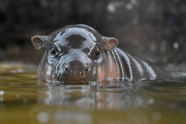 Parcialmente submerso, hipopótamo olha para câmera