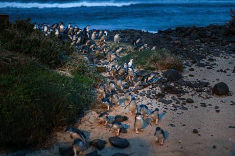 Penguins walk up from the shore at dusk on Phillip Island, Australia, July 10, 2019. An Australian state restored a habitat for the world?s smallest penguins by removing every home from a coastal development. (Asanka Brendon Ratnayake/The New York Times) ORG XMIT: XNYT259