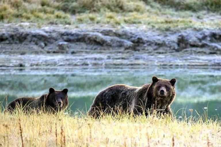Os ataques de ursos-pardos não provocados são geralmente muito raros