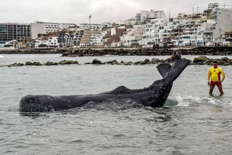 baleia com água até a metade do corpo, ao lado de um homem