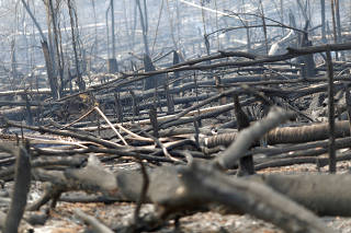 Charred trunks are seen on a tract of Amazon jungle that was recently burned by loggers and farmers in Porto Velho