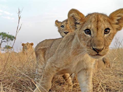 Bebê leão