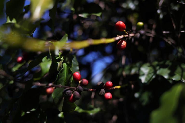 Grãos de café em plantação em São João da Boa Vista