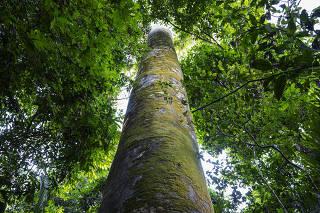 Jatobá na Terra Indígena Trincheira Bacajá, em São Félix do Xingu (PA)