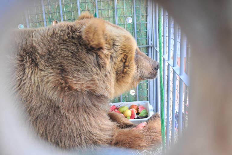 Após Marsha, mais dois ursos resgatados são trazidos a SP
