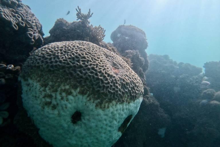 Coral-cérebro (Mussismilia hispida), na Bahia, afetado (parte branca) pelo aumento de temperatura das águas