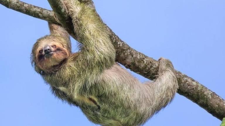 O estilo de vida das preguiças permite que economizem energia