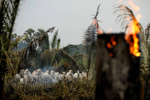 Cattle are seen amid smoke from a burning tract of the Amazon jungle as it is cleared by loggers and farmers in Apui, Amazonas state, Brazil September 3, 2019. REUTERS/Bruno Kelly ORG XMIT: SMS233