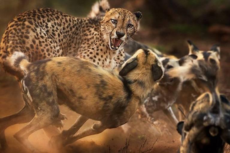 Um guepardo fugindo de cães selvagens, por Peter Haygarth, do Reino Unido