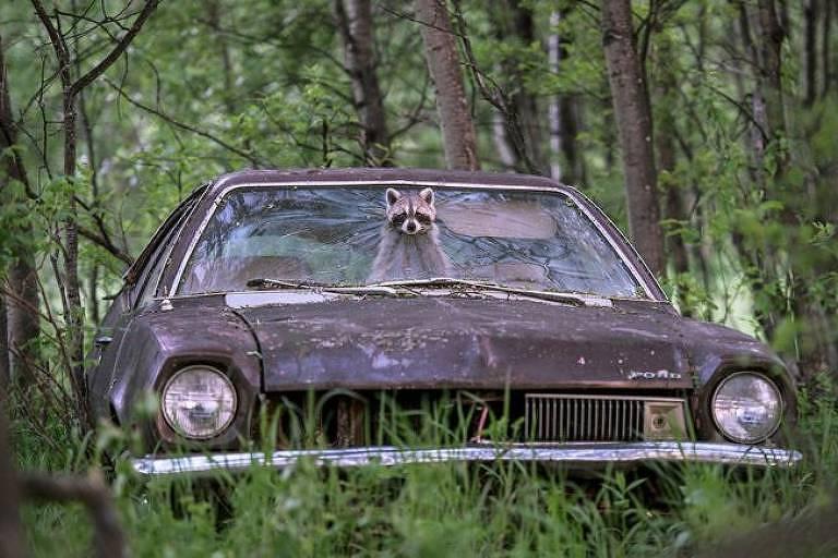 O guaxinim no Ford dos anos 1970, por Jason Bantle, do Canadá