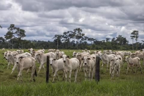 XAPURI, AC, BRASIL 26.11.2018 O gado avança sobre a floresta (Foto: Marlene Bergamo/Folhapress)