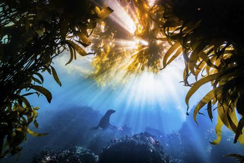 Imagem subaquática de um leão-marinho da Califórnia (Zalophus californianus), tirada pelo fotógrafo Tyler Schiffman, dos Estados Unidos, ganhou o Grande Prêmio da The Nature Conservancy