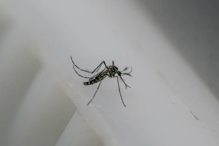 Exemplar do mosquito macho do Aedes aegypti, no contêiner da empresa Oxitec, que produz insetos geneticamente modificados