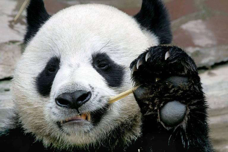 Panda Chuang Chuang, que morreu de causas ainda desconhecidas, em zoológico tailandês