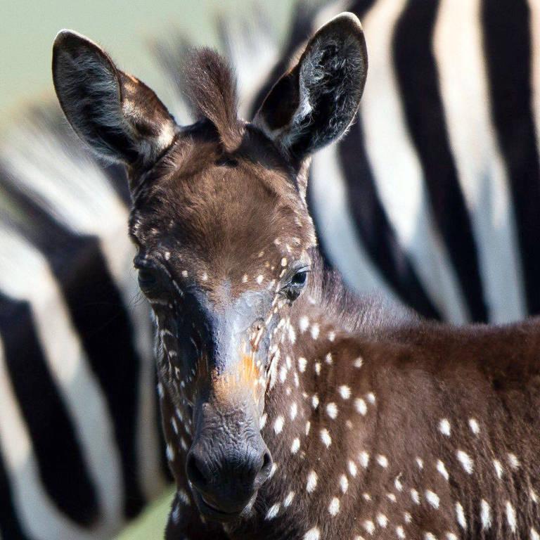 Um guia Masai descobriu uma zebra bebê geneticamente modificada no Masai Mara e nomeou-a segundo seu sobrenome: Tira