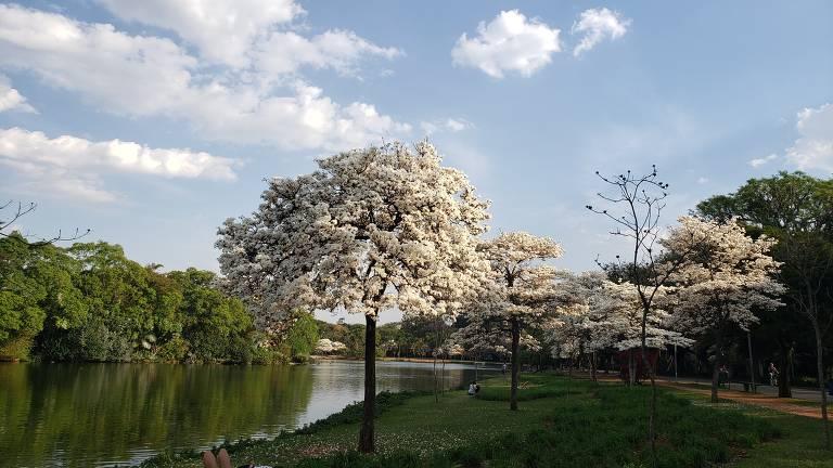 Florada de ipês em várias partes da cidade prenuncia chegada da primavera