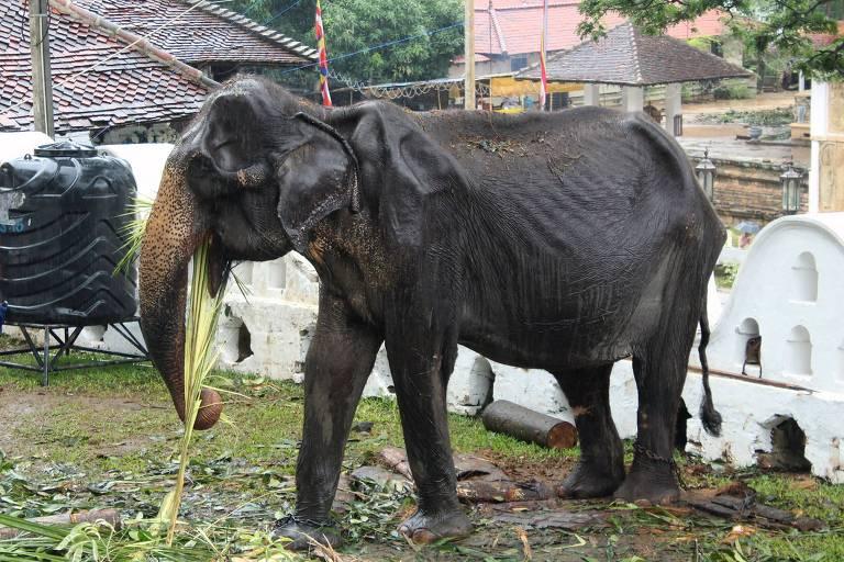 Elefanta Tikiri, 70, durante desfile anual do Templo do Dente, na cidade de Kandy, no Sri Lanka; magreza do animal chocou as pessoas nas redes sociais