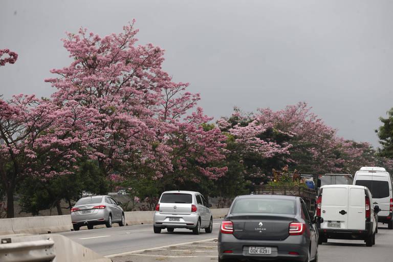 Ipês roxos floridos deixam a marginal Tietê mais bonita