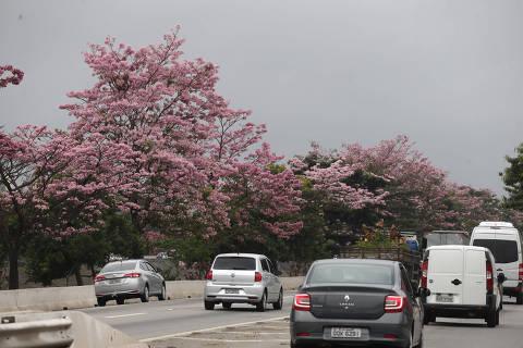 SAO PAULO, SP, 09/10/2019, BRASIL - FLORES DA PRIMAVERA - 12:44:13 - A chegada da primavera faz as arvores que margeia o Rio Tiete florirem. Rivaldo Gomes/Folhapress, NAS RUAS