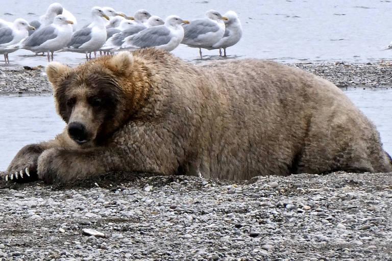 A ursa Holly na Reserva Nacional de Katmai