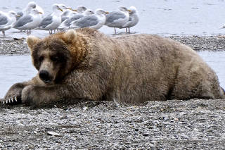 A bear known to researchers as