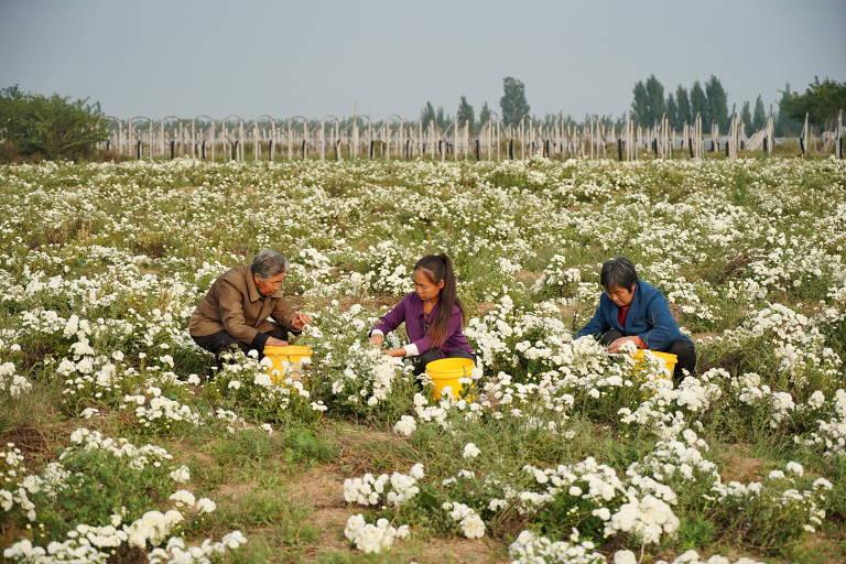 Três pessoas aguachadas colhem flores brancas em campo