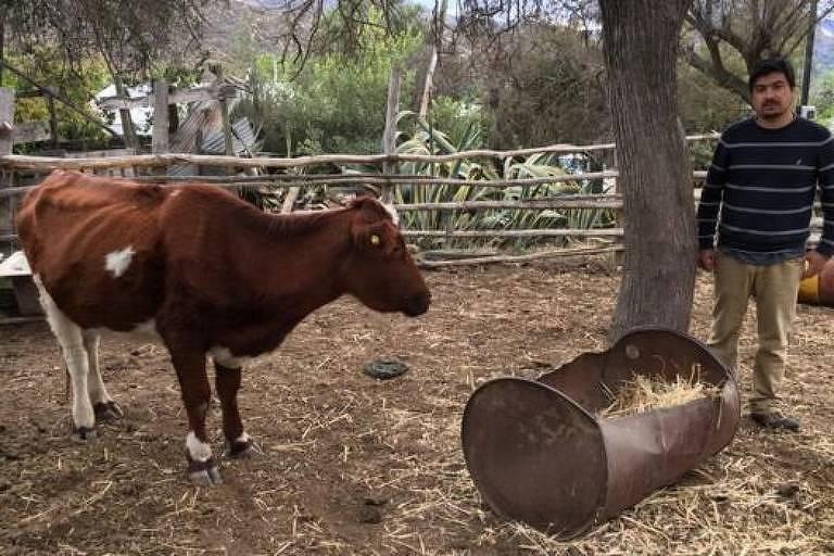 Em um cercado pequeno, um homem está ao lado de uma vaca. A vaca está muito magra e seus ossos estão à montra.