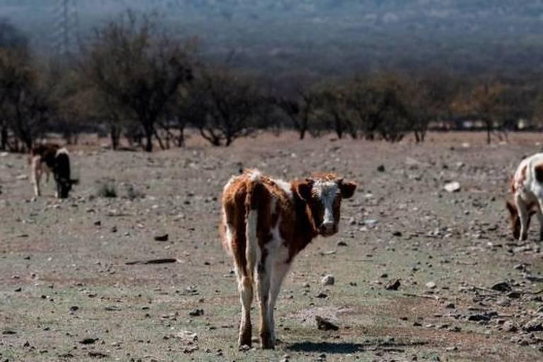 Três vacas muito magras estão em pasto cinza, com chão seco, sob forte sol.