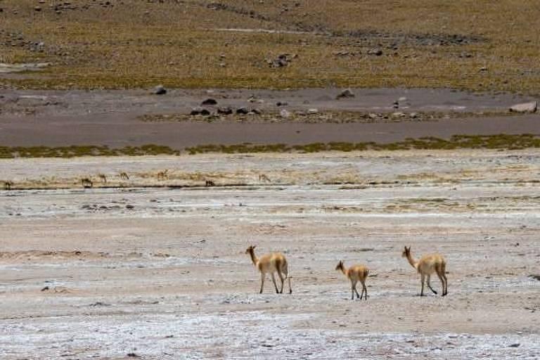 Três animais não-identificados, parecidos com lhamas, caminham pelo deserto do atacama. O chão do deserto é quase branco de tão seco.