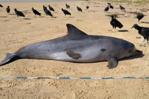 Golfinho é 1º mamífero atingido por óleo a surgir morto em praia de Alagoas
