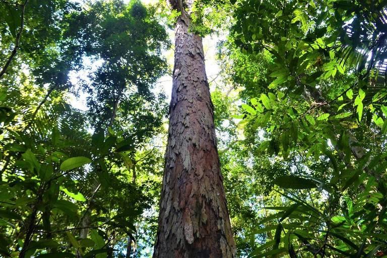 Árvore na Amazônia