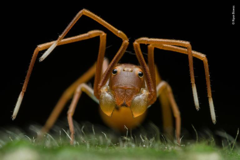 Categoria: Retratos de animais.  Muitas espécies de aranhas imitam formigas na aparência e no comportamento. A infiltração em uma colônia pode ajudá-las a atacar formigas inocentes ou evitar que sejam comidas por predadores.