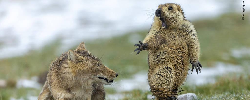 Yongqing Bao capta momento em que uma marmota do Himalaia é surpreendida por uma mãe raposa tibetana com três filhotes famintos para alimentar