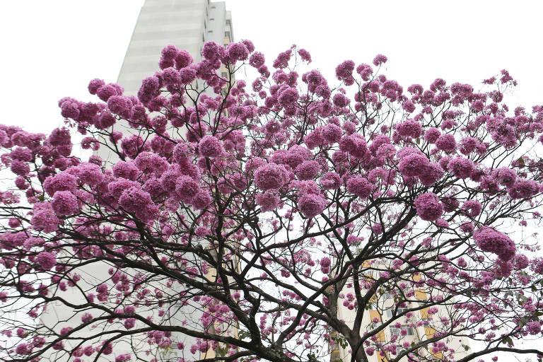 Ipê-roxo em São Paulo; substância da árvore é testada em novo medicamento contra câncer