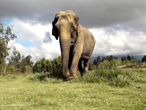 Ramba no Chile, antes de viajar ao Brasil; animal tem cicatrizes e problemas renais crônicos decorrentes de décadas de maus-tratos