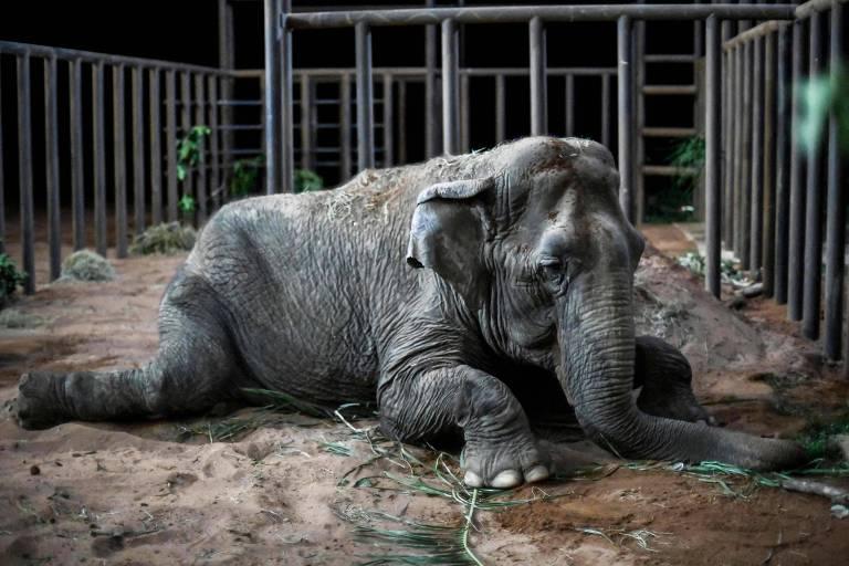 A elefanta Ramba descansa depois de chegar a santuário da espécie na Chapada dos Guimarães na noite de sexta (18)