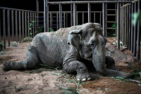 The elephant Ramba rests after arriving to the Brazilian Elephant Sanctuary located at the municipality of Chapada dos Guimaraes, Mato Grosso state, Brazil, on October 18, 2019. - The Asian elephant that spent decades performing in South American circuses has started a new life in an open-air sanctuary in Brazil, after travelling thousands of kilometers by plane and truck from a Chilean zoo. The elephant, estimated to be more than 52 years old, worked in circuses in Argentina and Chile before she was rescued by activists in 2012. (Photo by Rogerio Florentino / AFP)